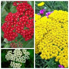 200Pcs Yarrow Herbs Seeds Achillea millefolium 10 Kinds Beautiful Garden Plants
