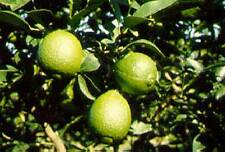 Key Lime Citrus Tree Live Grafted Fruit Plant 5 gallon 3-4 Feet Tall or taller