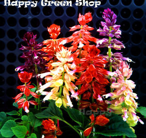 SAGE MIX - SALVIA SPLENDENS - 30 seeds - Annual flower - Very compact strain