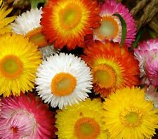 F0247 Helichrysum Tom Thumb Mix x100 seeds, Dried Flower