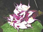 🔥 Datura blackcurrentswirl 15 Samen dreifach gefüllt für Balkon Kübel Zimmer