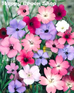 Silene coeli rosa mix - 1000 seeds - Viscaria oculata Blue pink and white shades
