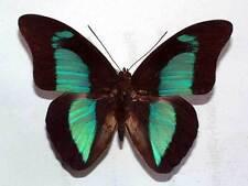 PREPONA PHERIDAMAS - unmounted butterfly