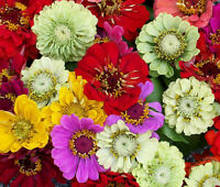 ZINNIA PUMILA MIXED COLORS Zinnia Elegans - 25,000 Bulk Seeds