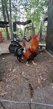 10 5k sweaters chicken fowl Hatching Eggs