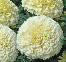 Marigolds Erecta White Flower Seeds  from Ukraine
