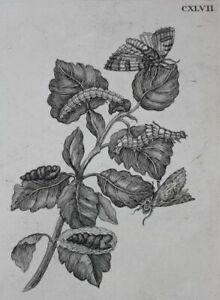 Abiegna folia poplar caterpillar - engraving - Maria Sibylla Merian botany 1730