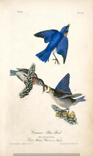 Common Blue Bird 6x4 Inch Print Bird Nature Art America Plants Vintage