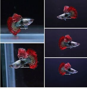 1 TRIO - Live Guppy Fish High Quality - Red Dragon BDS - USA Seller