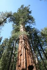 Sequoiadendron Giganteum 30 Seeds Giant Sequoia Redwood