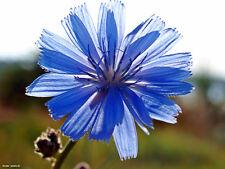 1000 Samen Gemeine Wegwarte - Cichorium intybus 001441