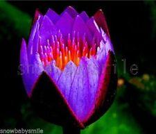 10 Purple Fire Bonsai Lotus Seeds Bowl Nelumbo Nucifera Pond Aquarium Flower