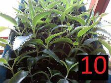 Kalanchoe Daigremontiana Calanchoe 10 plants 4inches 10cm tall plants plantas