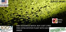 Duckweed 700+ Buy 2 Get 1 Free include free extra mystery plant with each order