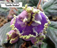 African Violet plant - Lucile Roske