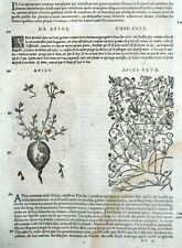 Botanique Coloquinte Arios Gravure Matthioli Mattioli Matthiole Dioscoride