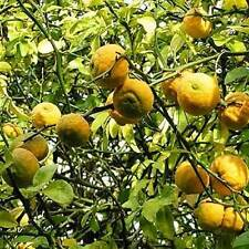 Orangenbäumchen Poncirus winterharte Orange ..minus 25 Grad - O4A6592