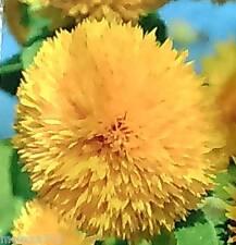 graines Soleil double géant de californie ( 12 )