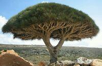 DRAGON TREE - Rare declining plant! Houseplant or patio plant! Fresh seeds!