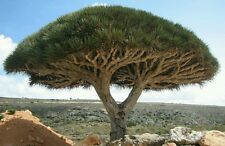 DRAGON TREE - Rare declining plant! Houseplant or patio plant! Fresh seeds!