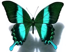 Papilio blumei - A Lot of 10  Stunning, Unmounted A1 Specimens from Sulawesi
