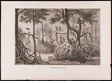 1880 - Gravure : Les mangliers de la Tuyra (Canal du Panama, Darien)