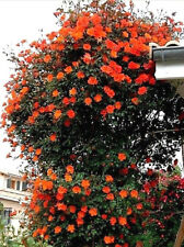 Climbing Rose Bare Root 'Warm Welcome' Plant  Orange Flowers