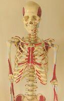 "Life-size human skeleton anatomical model 5'7"" medical nursing student New"