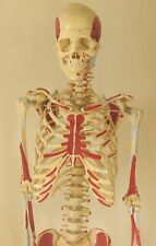 "Life-size human skeleton anatomical model 5'7"" New"