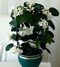 Velvety White Stephanotis, 10+ seeds