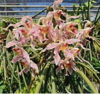 Paraphalaenopsis Kalopaking     *Fragrant  **Some in spike