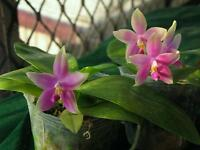 Rare orchid hybrid seedling plant - Phalaenopsis violacea x Phalaenopsis penang