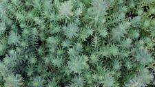 Sedum 'Tripmadam' Seed Drought Tolerant Groundcover Salad Veg Ornamental Plant