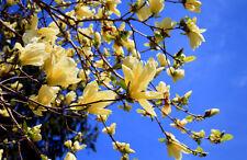 5 Magnolia champaca seeds * Fragrant *  Ornamental Tree CombSH M56
