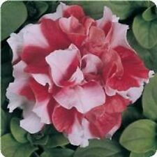 Petunia Double Madness Red and White Pelleted 40 Seeds  Garden Seeds 2u