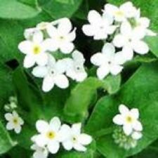 30+ HEIRLOOM PURE WHITE FORGET-ME-NOT FLOWER SEEDS / PERENNIAL / GREAT GIFT