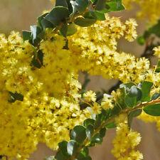 Acacia pravissima dwarf form nana compact prostrate native plant in 50mm pot
