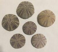 6 Sea Urchin Seashells Shells Beach Wedding Craft Nautical Decor Airplants