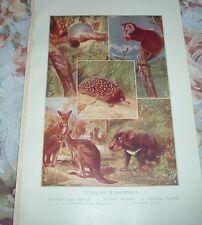 1919 Types Of Marsupials Sugar Squirrel Opossum Echidna Kangaroo Devil Print