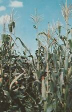 "*Colorado Postcard-""Corn Field"" ...The Corn is Green~"