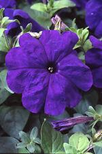 50 Pelleted Lambada Blue Petunia Seeds