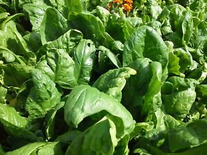 English Spinach seeds winter variety - FREE Postage