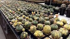 200 FRESH SEEDS Astrophytum ASTERIAS MIXED Variegata, Vtype, Shinshowa, Kikko