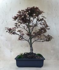 Rare True Dwarf Pixie Red Japanese Maple Bonsai Specimen Big Thick Trunk Nebari