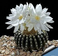 Cactus Seeds Celestial Being Seeds Plant Seed Anti-Radiation Bonsai Cactus Tree