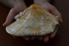 "GIANT BIG STROMBUS LATISSINUS SEA SHELL BEACH DECOR 6 1/2"" - 7"" #7789"