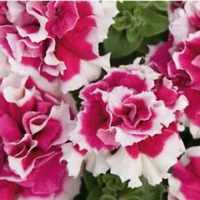 DOUBLE Madness ROSE & WHITE ~ PETUNIA ~ 25 Pelleted SEEDS