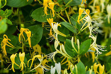 Honeysuckle Oil 10ml for Soaps, Candles and Perfume