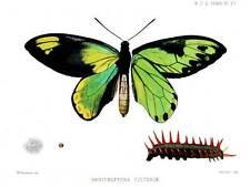 Dibujo científico Estampado de Mariposas Caterpillar Ornithoptera victoriae BB9407