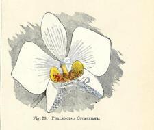 Stampa antica FIORE ORCHIDEA PHALAENOPSIS STUARTIANA botanica 1896 Antique print